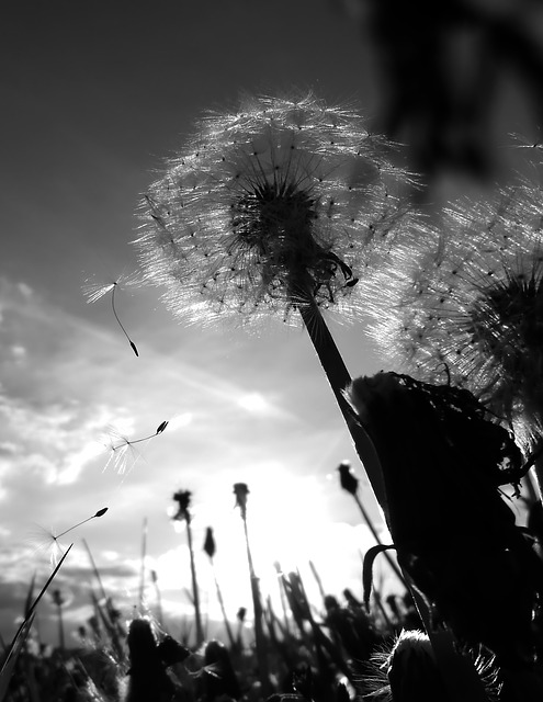 A black and white picture of a dead dandelion and its flying seeds, a symbol of death and moving on