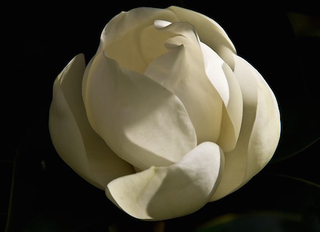 white magnolia blossom opening against black background